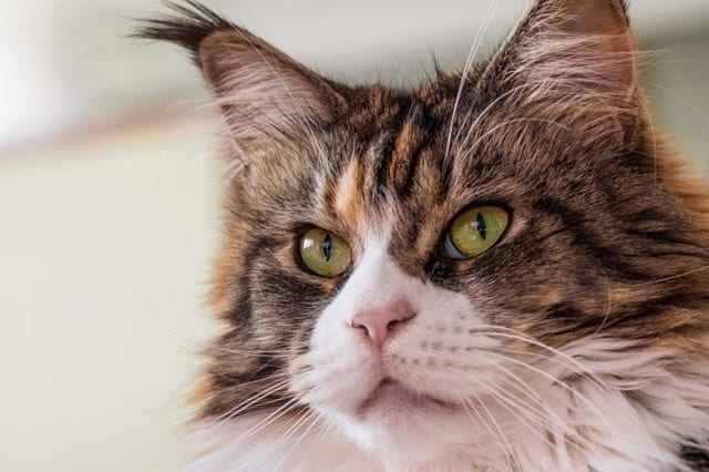 raza gato maine coon